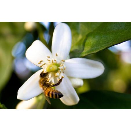 Miel d'Oranger Mont Nectar - 500g