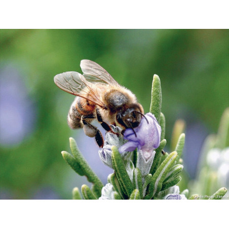 Miel de Romarin Mont Nectar  - 500g