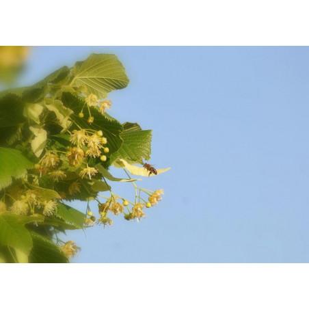 Miel de Tilleul Mont Nectar - 500g