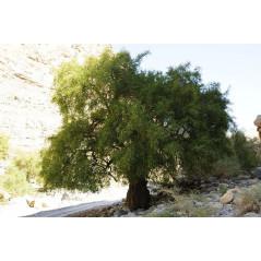 Feuille de Jujubier ( Sidr)